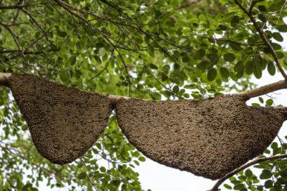 عسل وحشی جنگلی اعلا