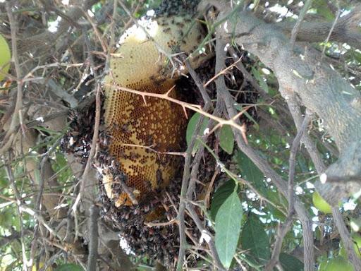 فواید شگفت انگیز عسل کنار