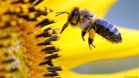 ترشح آنزیمها توسط زنبور در عسل
